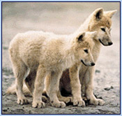 SAVE THE ARCTIC WILDLIFE RESERVE from oil drilling