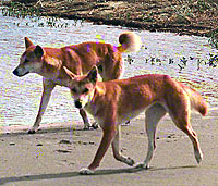 dingoes02.jpg
